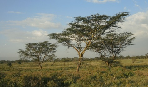 Acacia trees in the savannah