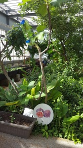 Fig Tree at the Khoo Teck Puat Hospital Rooftop Garden